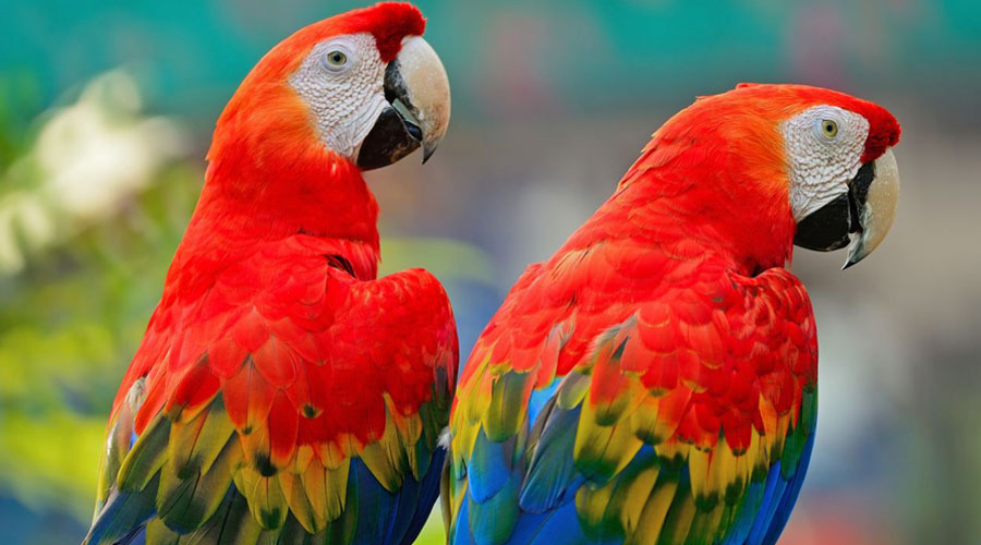 Macaws-03