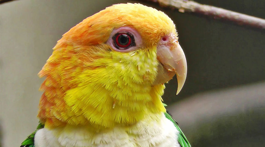 caiques-bird-for-sale-in-kolkata