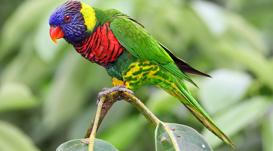 lory-bird-for-sale-in-kolkata